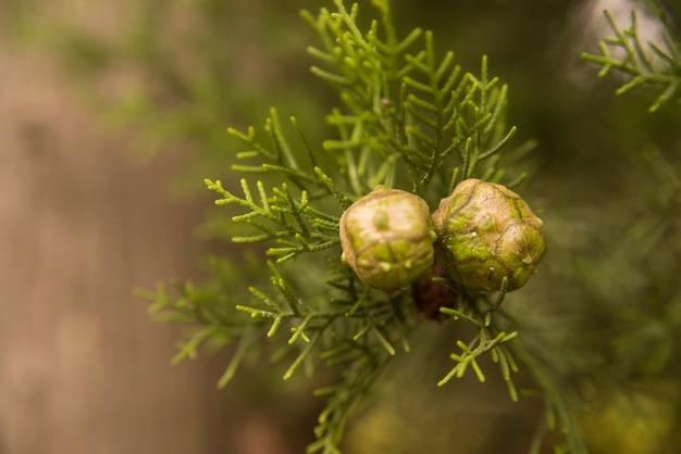 Cones de cipreste brilhantes em uma árvore em fundo desfocado