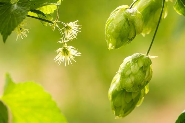 Cones de lúpulo frescos verdes para fazer o close up da cerveja e do pão, fundo agrícola.