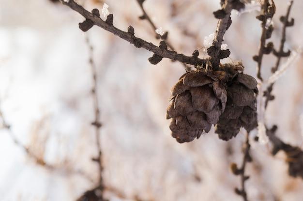 Cones em um ramo de abeto contra um fundo de floresta no inverno