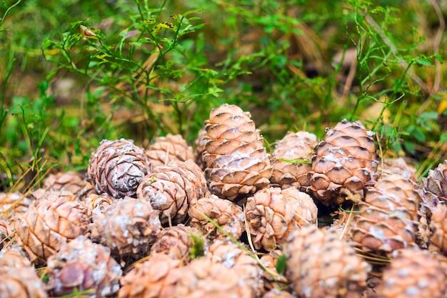 Cones mentem em uma pilha na floresta.