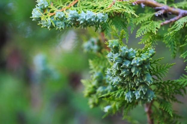 Cones verdes de thuja a oeste em um galho, close-up