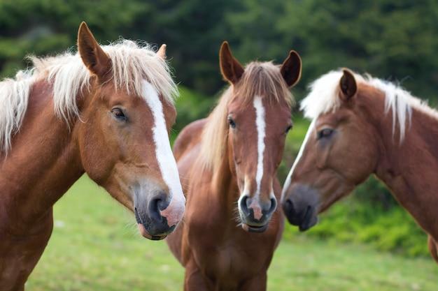 Conferência de cavalo engraçado no campo ensolarado. feche o tiro de três cavalos castanhos com listras brancas e cabeças de juba longas juntos nas árvores verdes borradas. conceito de inteligência e lealdade.
