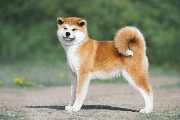 Conformação do filhote de cachorro akita inu. cachorro peludo vermelho sobre fundo verde