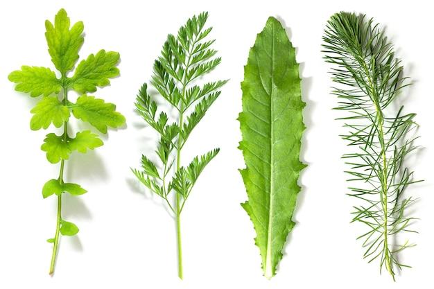 Conjunto, coleção de folhas verdes de plantas diferentes, isoladas no fundo branco