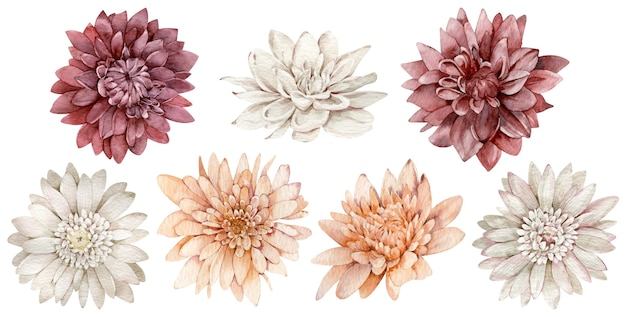 Conjunto de ásteres aquarela carmesins, brancos e laranja. coleção de flores de outono. coleção outono isolada no fundo branco.