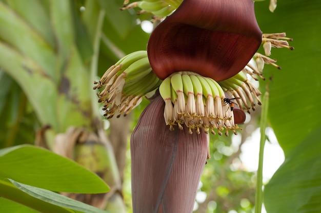 Conjunto de banana e vespa na tailândia.