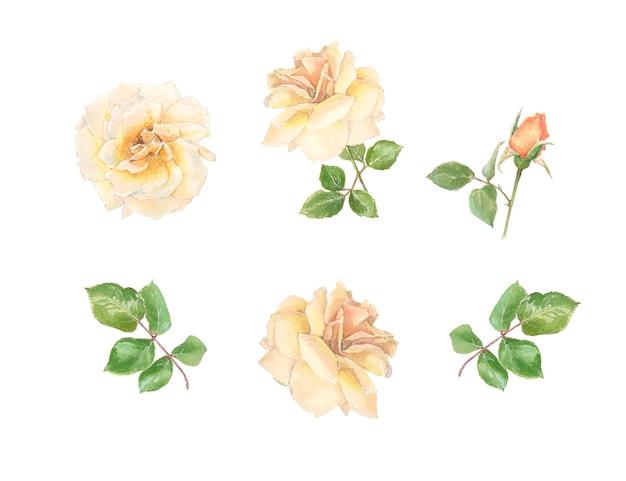 Conjunto de botões e rosas creme