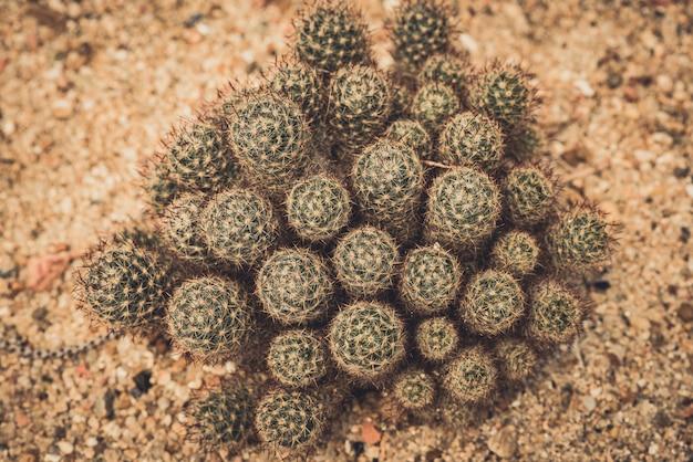 Conjunto de cactos echinocactus grusonii. bem conhecido geral de cacto