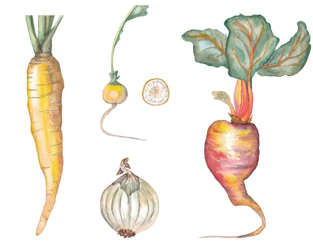 Conjunto de cenoura amarela, beterraba, rabanete amarelo com fatia e cebola branca. ilustração em aquarela.