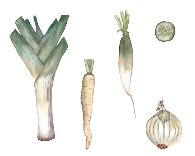 Conjunto de cenoura branca, alho-poró, cebola, rabanete daikon com fatia. ilustração em aquarela.