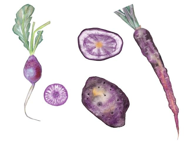 Conjunto de cenoura violeta, batata e rabanete com fatias. ilustração em aquarela.