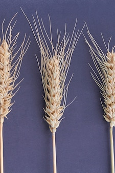 Conjunto de close-up de trigo seco ou espigas de centeio isoladas no fundo preto. pilha de grãos de cereais de tiro vertical.