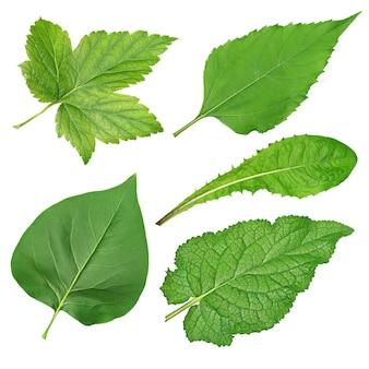 Conjunto de diferentes folhas verdes isoladas no fundo branco