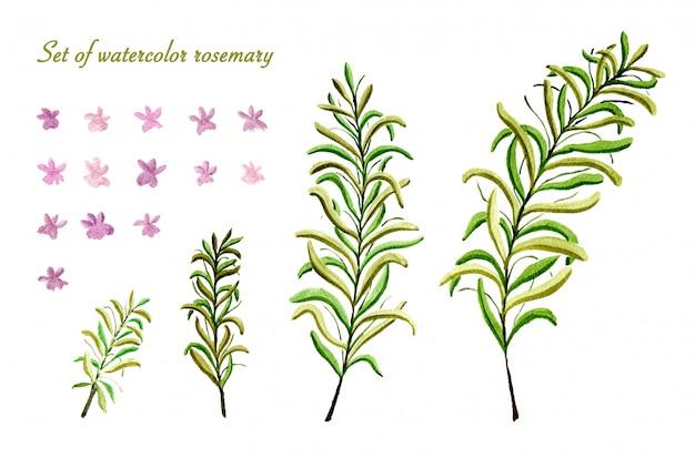 Conjunto de flor de alecrim aquarela