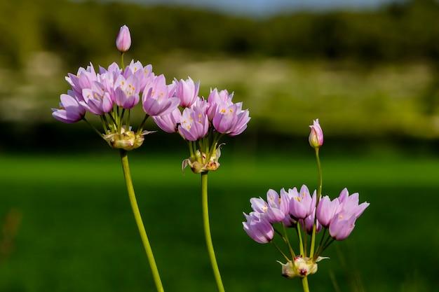 Conjunto de flores cor de rosa com prado verde e fundo de montanha.