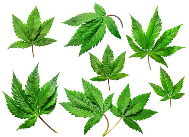 Conjunto de folhas de cânhamo em um fundo branco isolado. coleção cannabis. as folhas de maconha medicinal da variedade jack herer são um híbrido de sativa e indica.