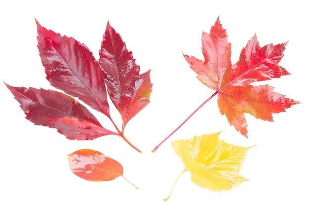 Conjunto de folhas de outono amarelas e vermelhas isoladas no fundo branco