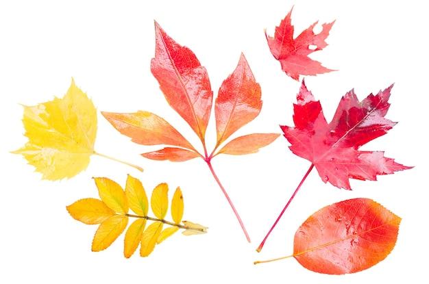 Conjunto de folhas de outono amarelas, laranja e vermelhas isoladas no fundo branco