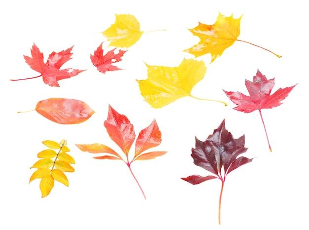 Conjunto de folhas de outono amarelas, roxas e vermelhas isoladas no fundo branco