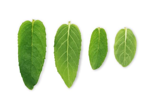 Conjunto de folhas verdes de hortelã em um fundo branco