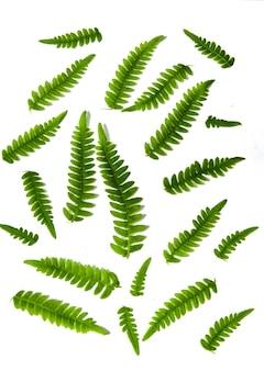 Conjunto de samambaia verde deixa planta da floresta tropical isolada no fundo branco. estampa floral.