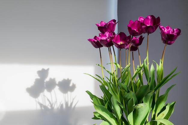 Conjunto de vasos de tulipas em luz natural. plantas domésticas