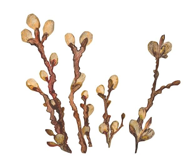 Conjunto desenhado à mão em aquarela com ramos de salgueiro madeira de salgueiro primavera isolada no fundo branco