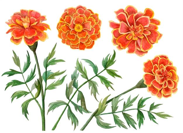 Conjunto em aquarela de flores de calêndula, ilustração floral desenhada à mão isolada no branco.