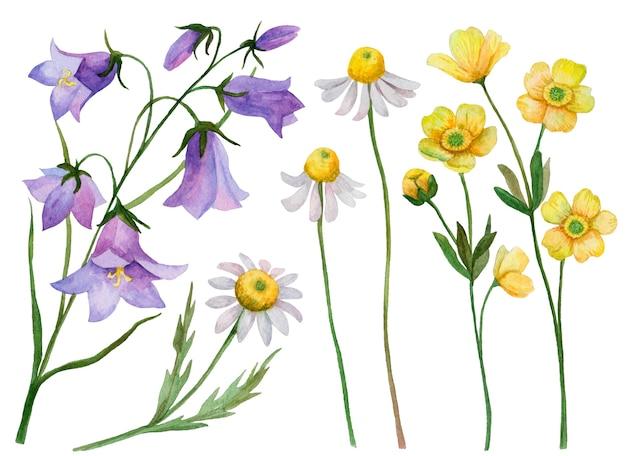 Conjunto em aquarela de flores silvestres, ilustrações desenhadas à mão de camomilas, campânulas e botões de ouro isolados