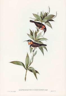 Conta-de-espinha-branca-sobrancelhada (acanthorhynchus superciliosus) ilustrada por elizabeth gould