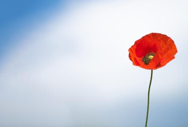 Contra o céu azul, com nuvens brancas, está uma solitária flor de papoula vermelha no lado direito - opie o espaço na posição horizontal do lado esquerdo