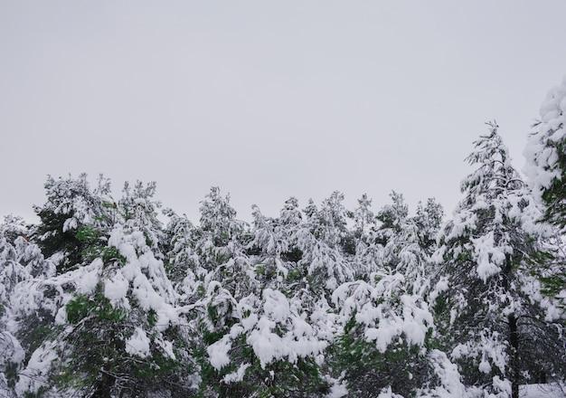 Copas das árvores de pinheiro nevado com céu nublado