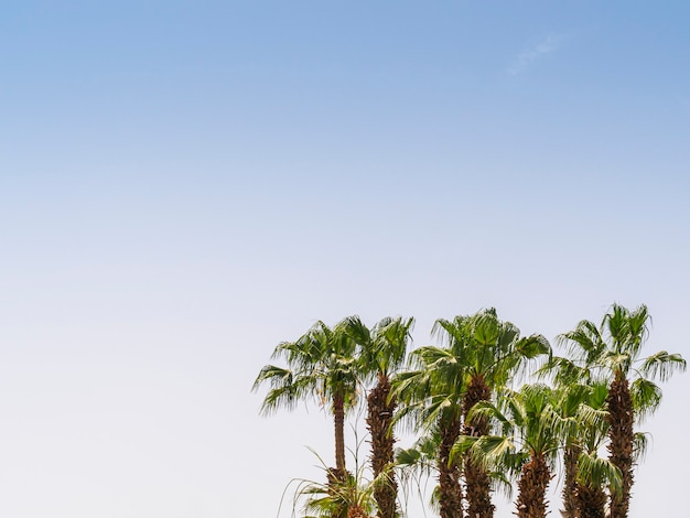 Copas de várias palmeiras contra um céu azul
