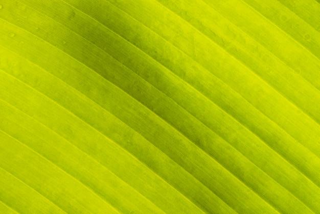 Copie a textura de folha de banana de espaço