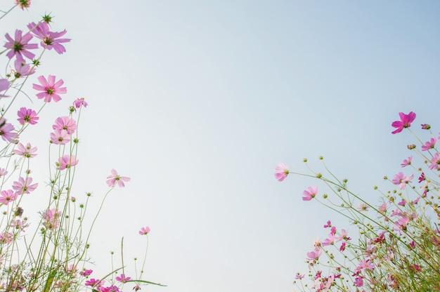 Copie o espaço do campo de flores do cosmos