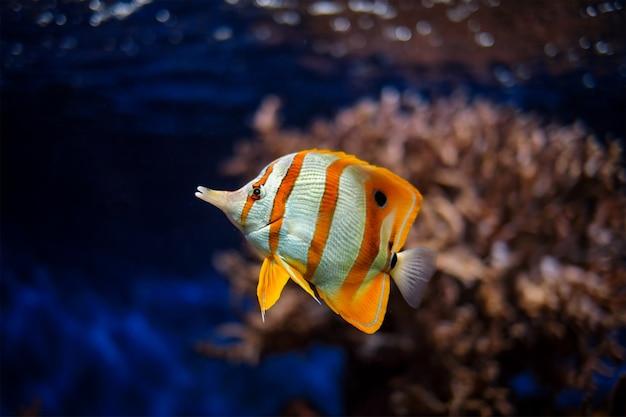 Copperband butterflyfish chelmon rostratus