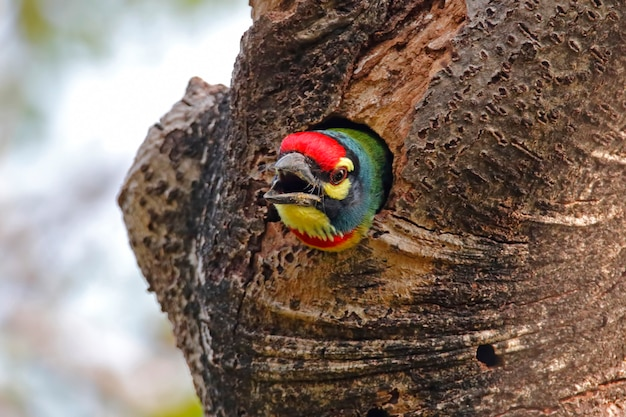 Coppersmith barbet megalaima haemacephala belas aves da tailândia na árvore oca