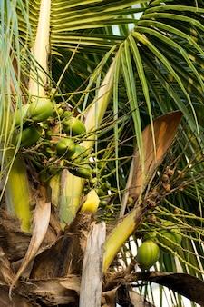 Coqueiro cheio de cocos em um dia ensolarado. parque no brasil.