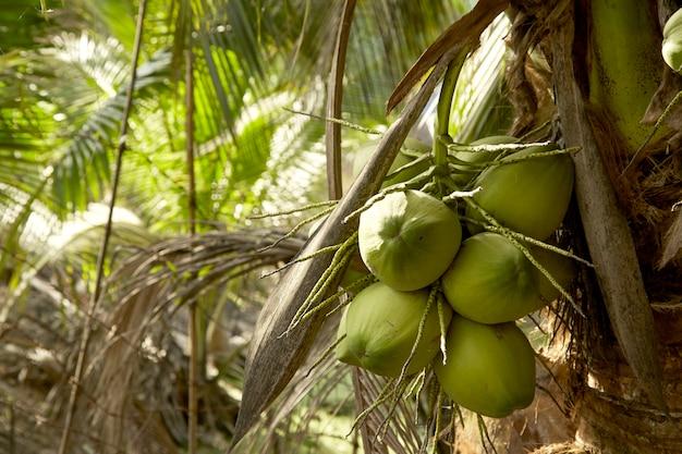 Coqueiro com frutas de coco.