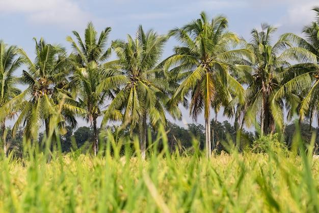Coqueiro de coco no campo de arroz
