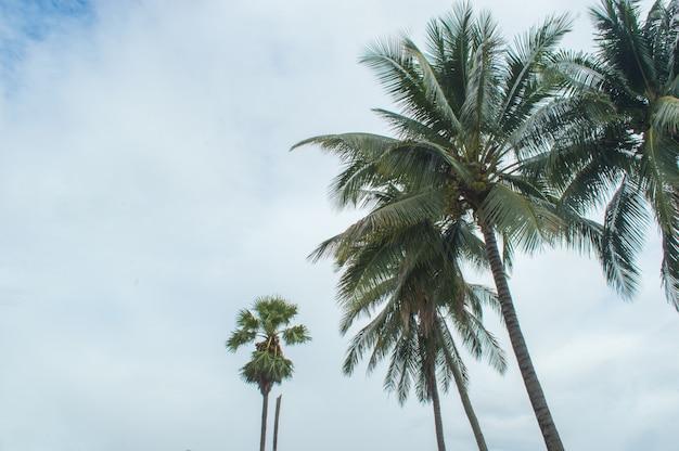 Coqueiro e toddy palmeira no fundo do céu