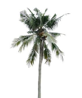 Coqueiro isolado em um fundo branco