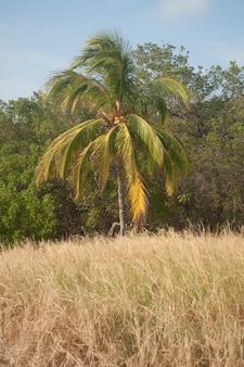 Coqueiro na borda da floresta de um prado de grama