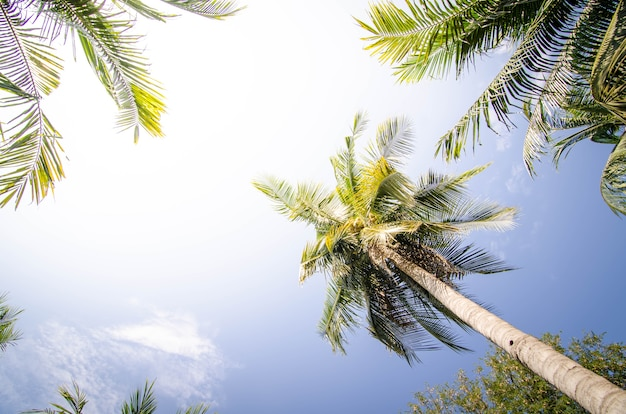 Coqueiro na fazenda de coco no horário de verão