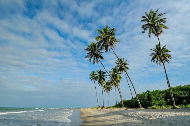 Coqueiro no final da tarde na praia de porto de galinhas perto de recife pernambuco brasil
