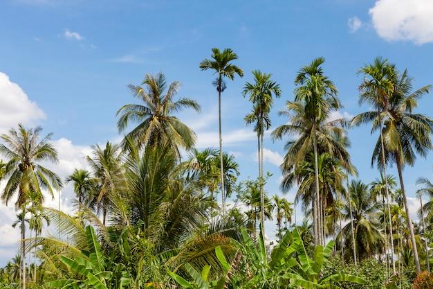 Coqueiro no jardim e no fundo do céu azul na temporada de verão