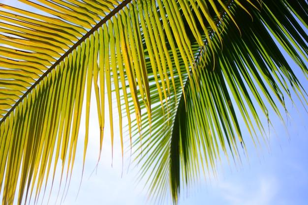 Coqueiro no verão com o fundo do céu