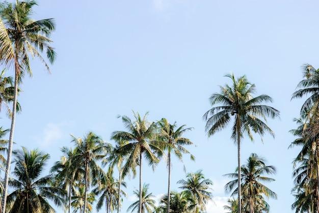 Coqueiro no verão no céu.