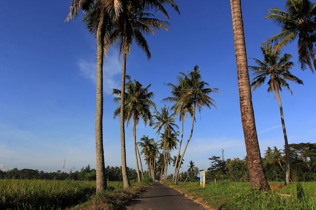 Coqueiros crescem à beira dos campos de arroz