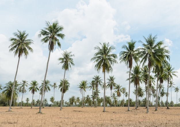 Coqueiros e plantação de mandioca